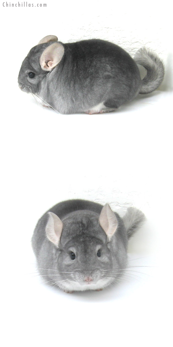 12277 Extra Large Top Show Quality Sapphire Male Chinchilla