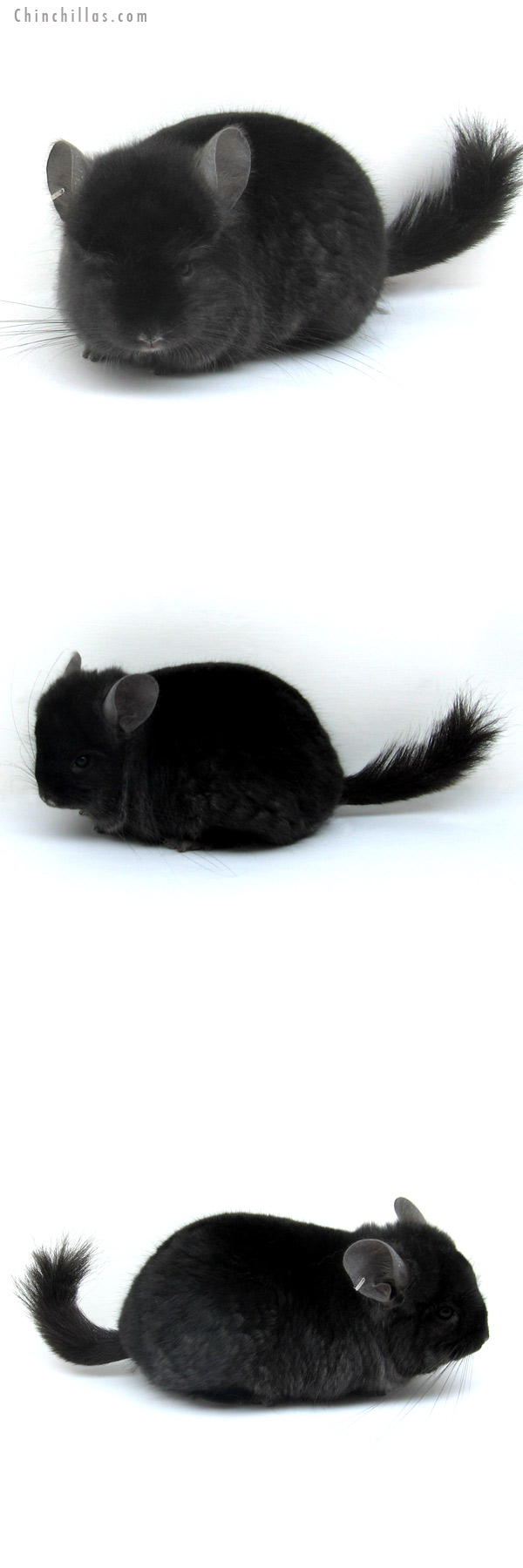 12285 Exceedingly Rare Ebony Royal Persian Angora Male Chinchilla