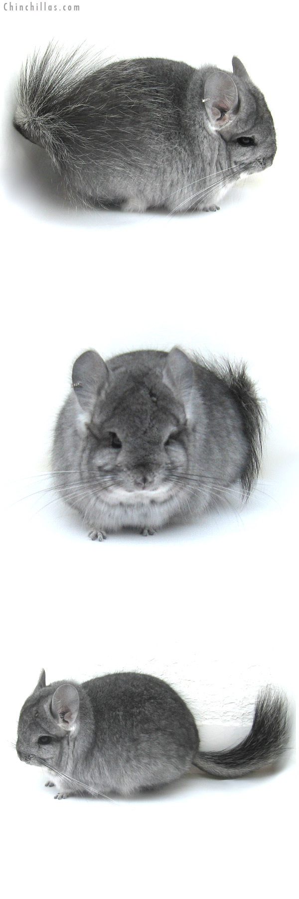 12284 Standard Royal Persian Angora Male Chinchilla