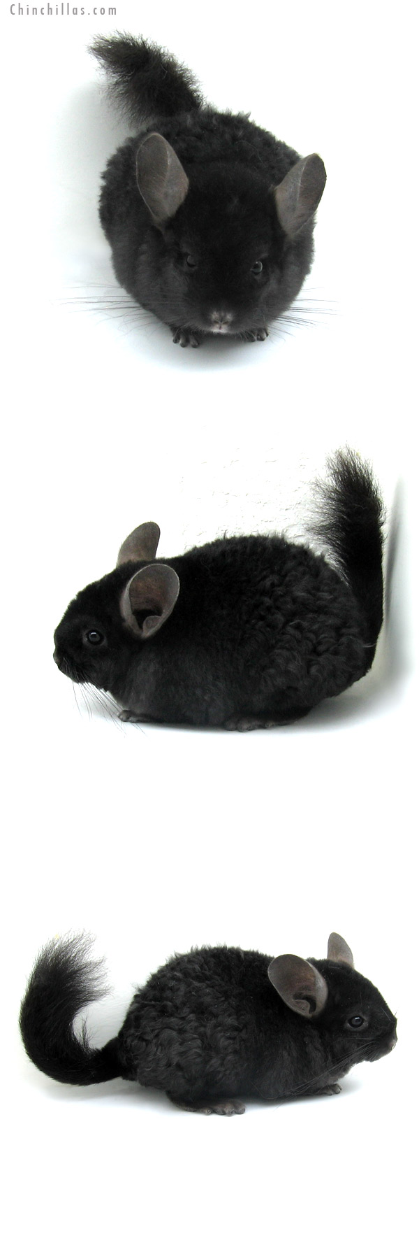 13006 Exceptionally Rare Ebony Locken Female Chinchilla