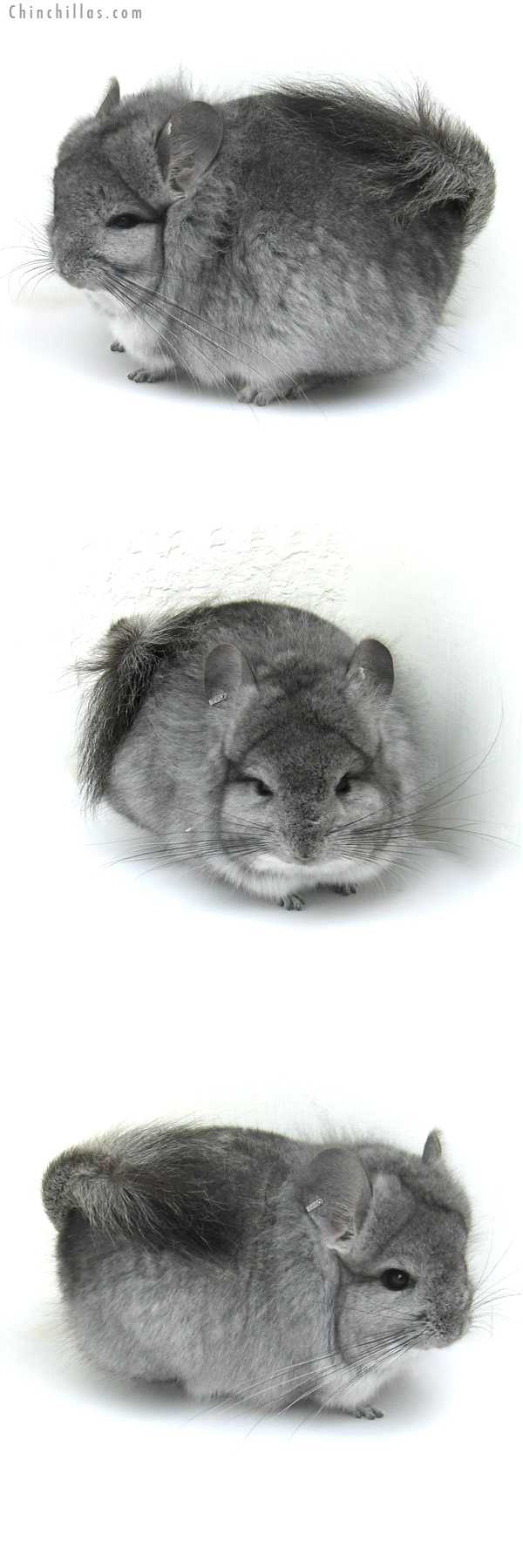 13010 Exceptional Standard Royal Persian Angora Male Chinchilla