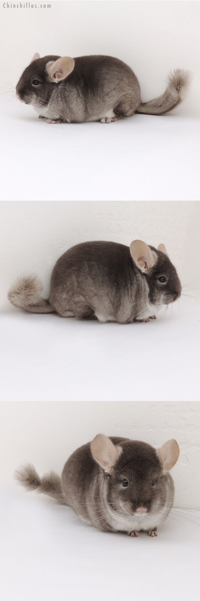13035 Color Phase Champion TOV Beige Male Chinchilla