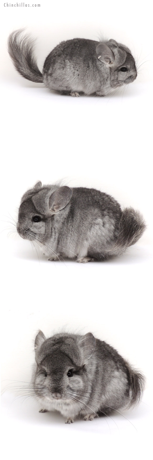 13036 Standard Royal Persian Angora Male Chinchilla