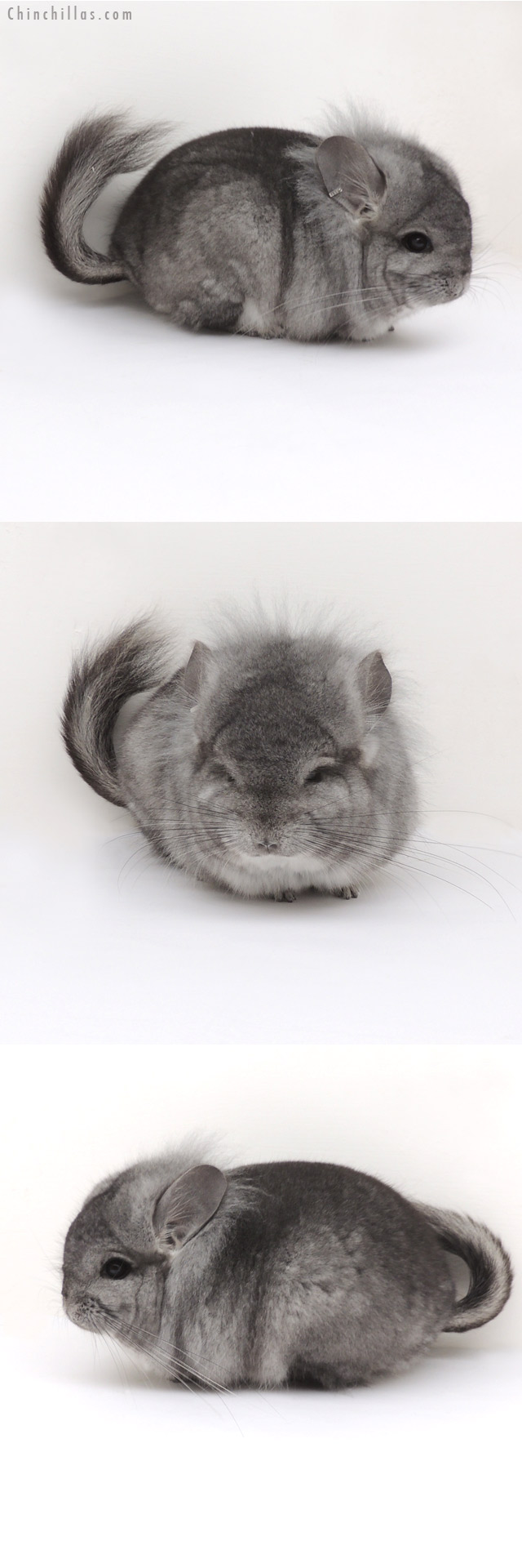 13038 Exceptional Standard Royal Persian Angora Male Chinchilla