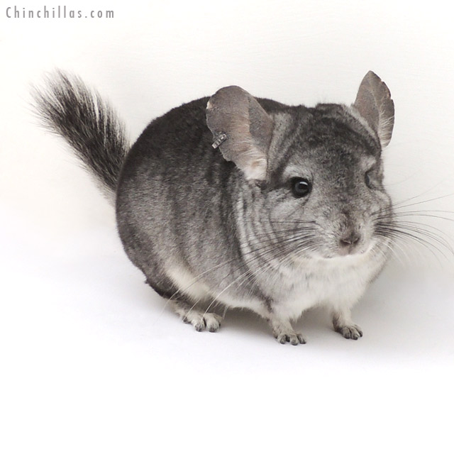 13043 Standard ( Sapphire & Royal Persian Angora Carrier ) Male Chinchilla