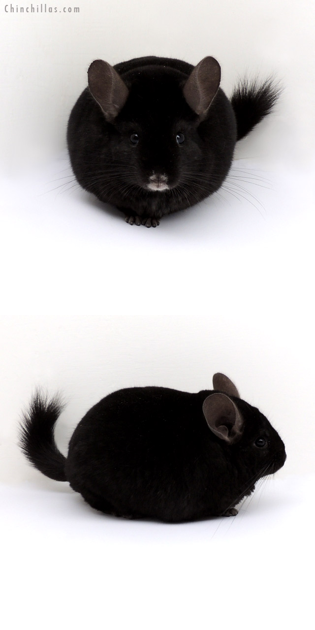 13054 Blocky, Top Show Quality Ebony Male Chinchilla