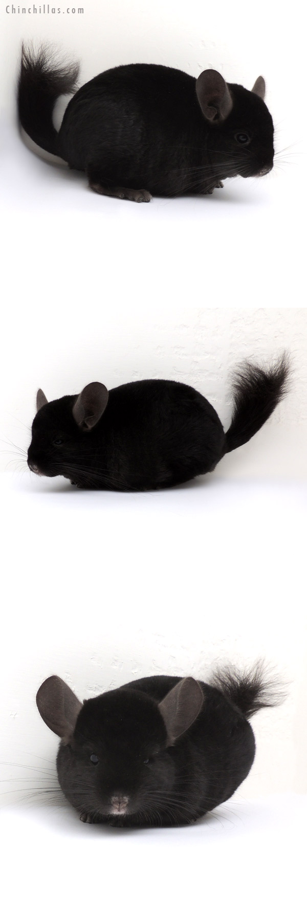 13061 Large Ebony ( Locken Carrier ) Male Chinchilla