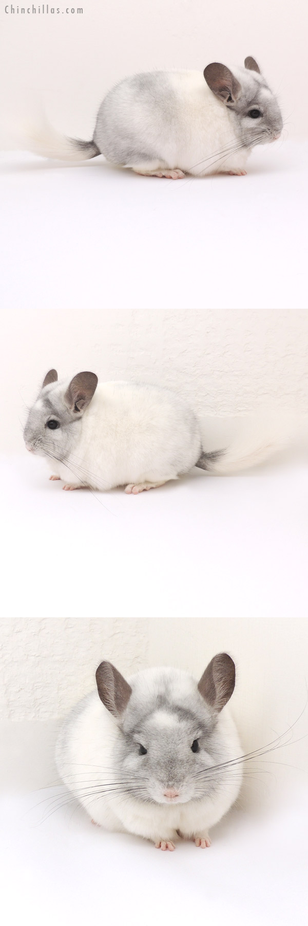 13063 Premium Production Quality White Mosaic ( Sapphire Carrier ) Female Chinchilla