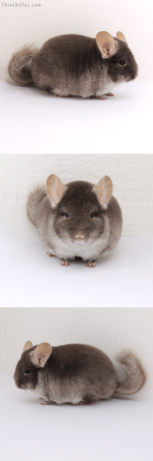 13060 Show Quality TOV Beige ( Violet Carrier ) Male Chinchilla