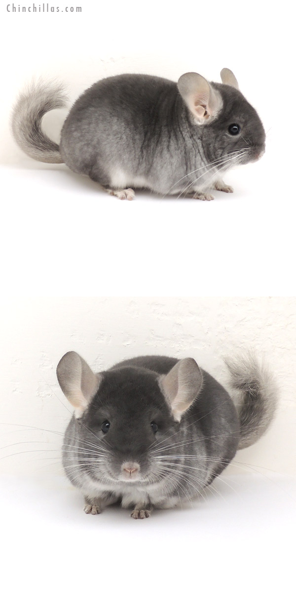13080 Premium Production Quality TOV Sapphire Female Chinchilla