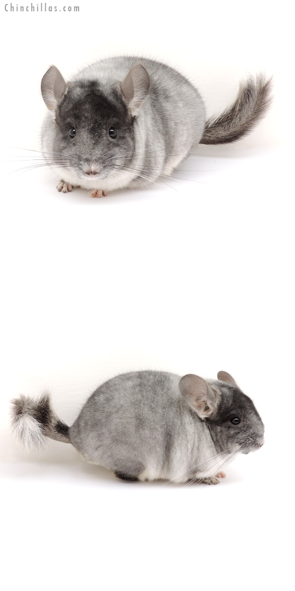 13085 Herd Improvement Quality TOV White Male Chinchilla