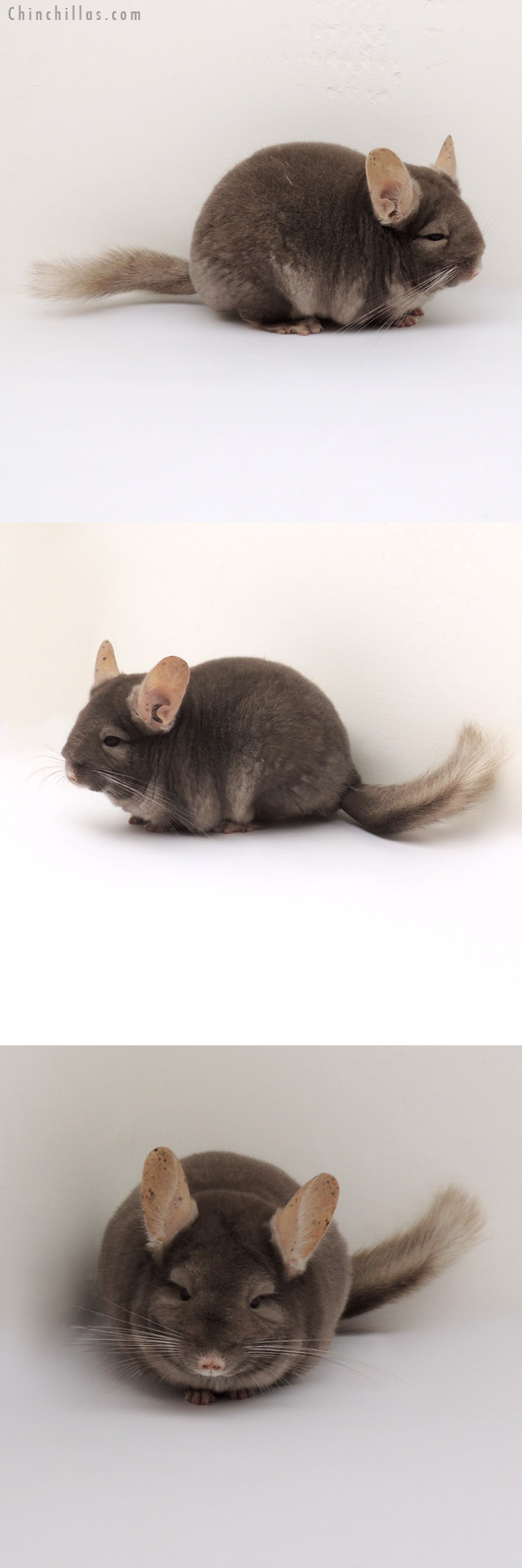 13078 Show Quality Tan ( Violet Carrier ) Female Chinchilla