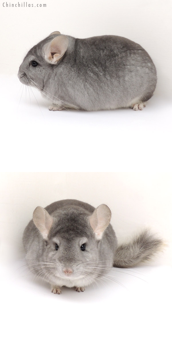 13083 Large, Premium Production Quality Sapphire ( Ebony Carrier ) Male Chinchilla