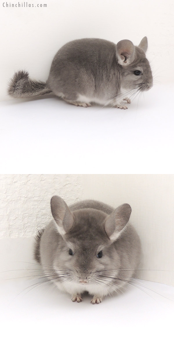 13077 Show Quality Violet Male Chinchilla