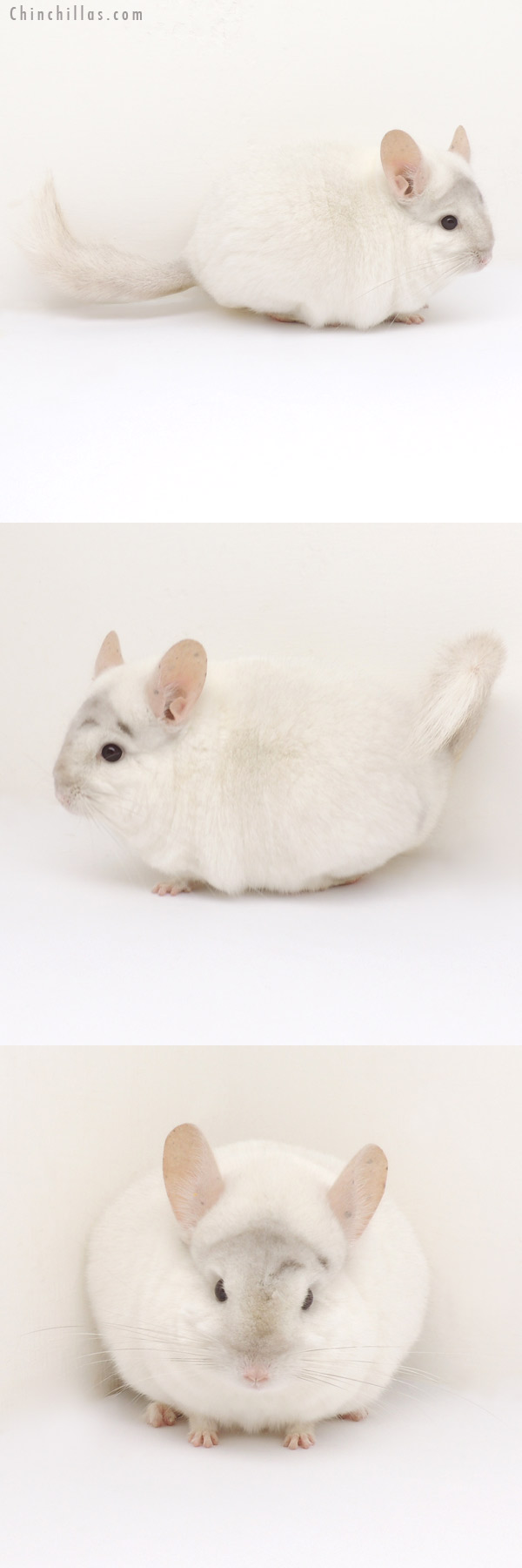 13110 Premium Production Quality Pink White Female Chinchilla