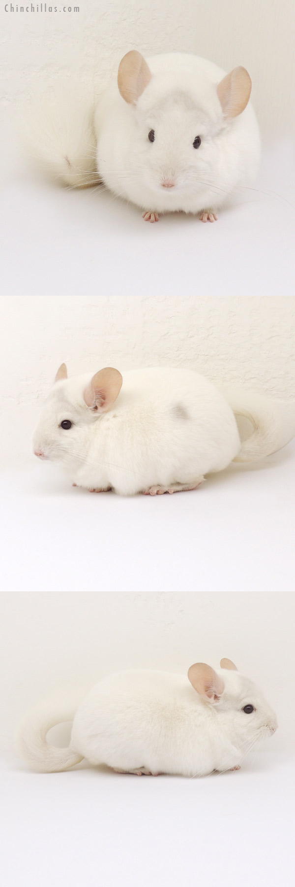13109 Premium Production Quality Pink White ( Violet Carrier ) Female Chinchilla