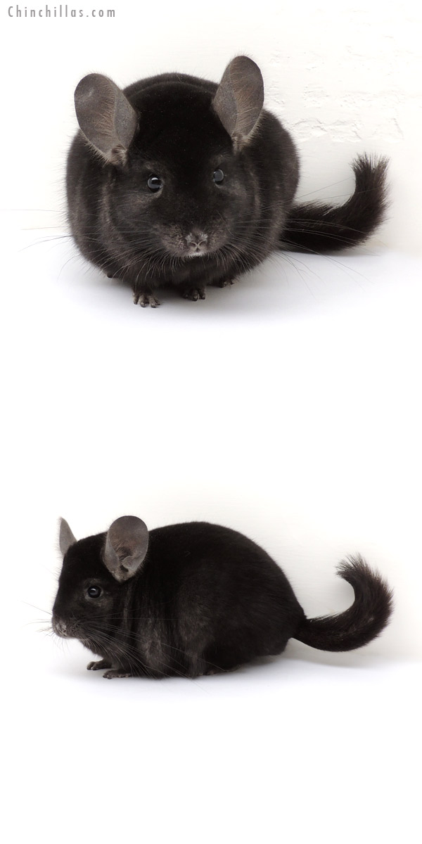 13112 Show Quality Ebony ( Sapphire Carrier ) Male Chinchilla