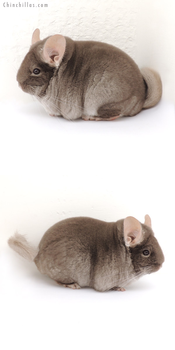 13105 National Reserve Phase Champion TOV Beige Female Chinchilla