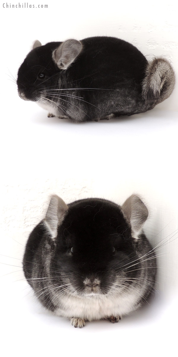13106 National 1st Place Black Velvet Male Chinchilla