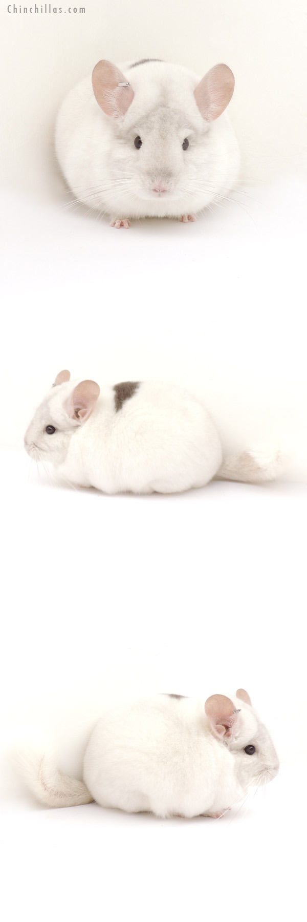 13132 1st Place Pink White Male w/ Body Spot Chinchilla
