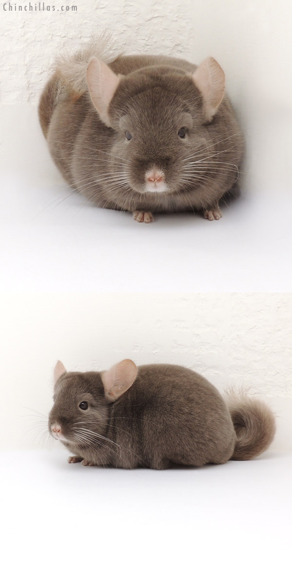 13163 Show Quality Dark Tan Female Chinchilla