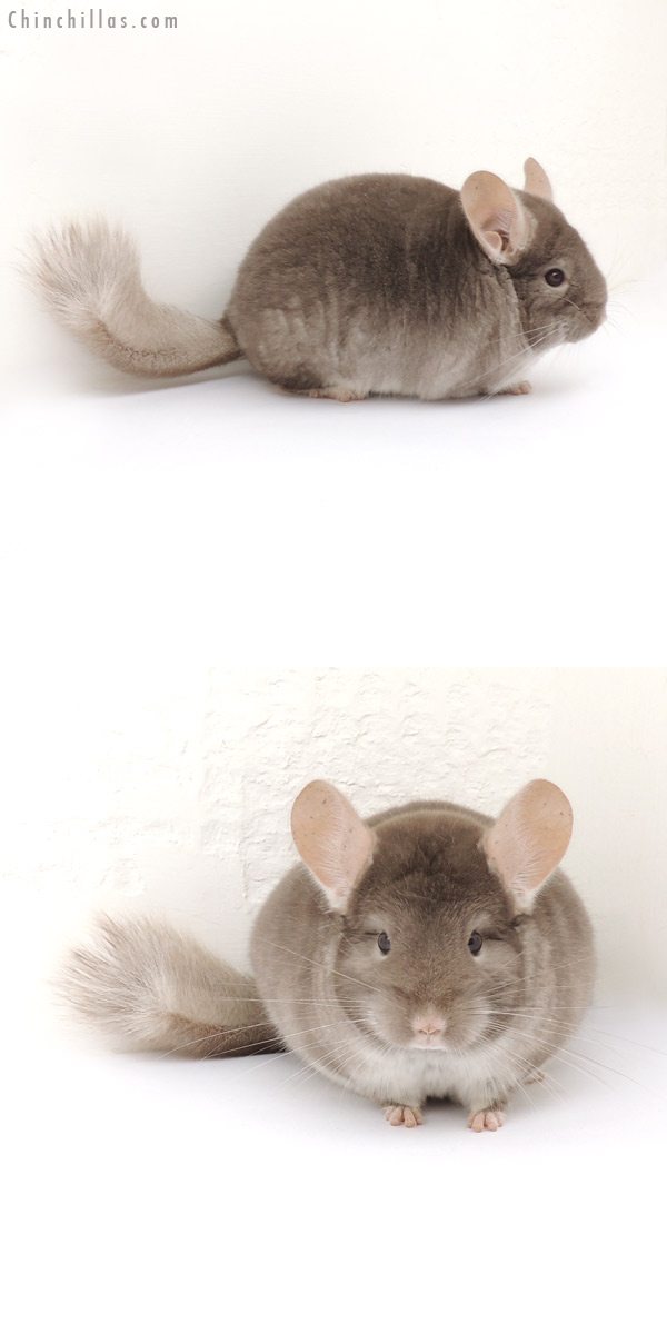 13159 Show Quality TOV Beige / Brown Velvet Male Chinchilla