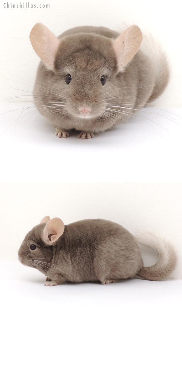 13162 Tan ( Locken Carrier ) Female Chinchilla