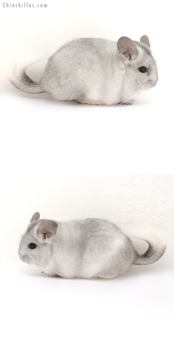 13188 Silver Mosaic ( Royal Persian Angora Carrier ) Female Chinchilla