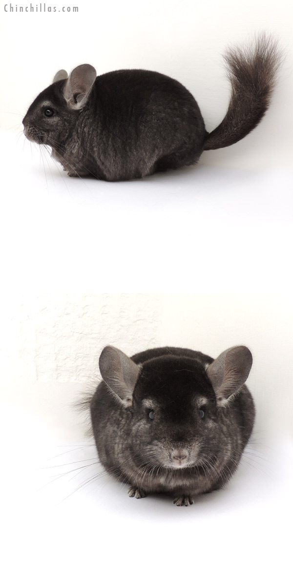 13181 Large Ebony ( Locken Carrier ) Female Chinchilla