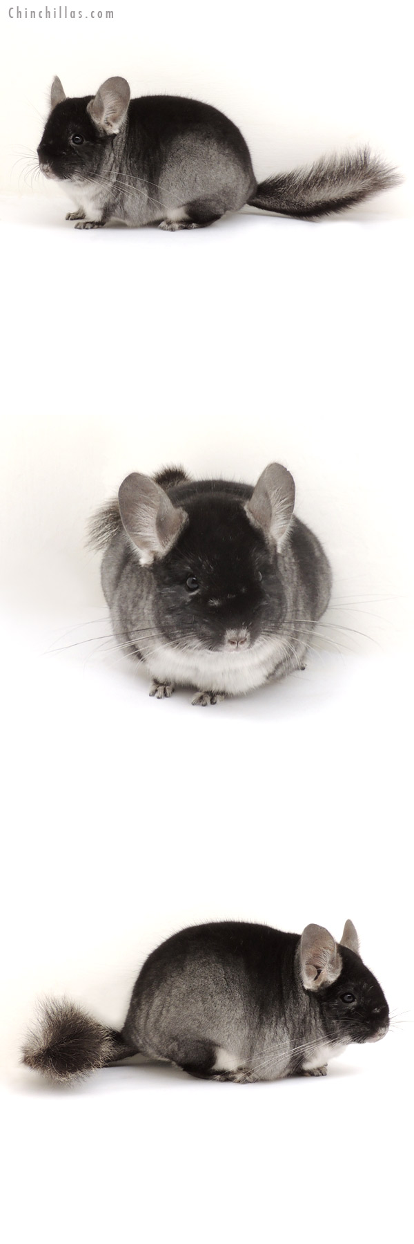 13179 Premium Production Quality Black Velvet ( Sapphire Carrier ) Female Chinchilla