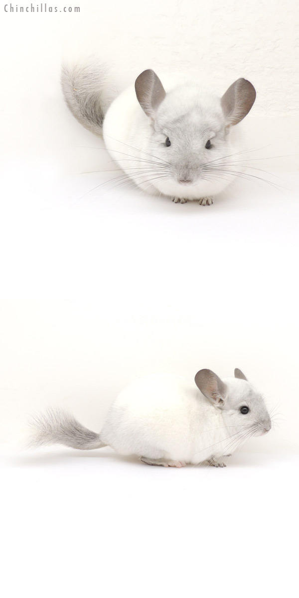 13156 Show Quality White Mosaic ( Sapphire Carrier ) Male Chinchilla