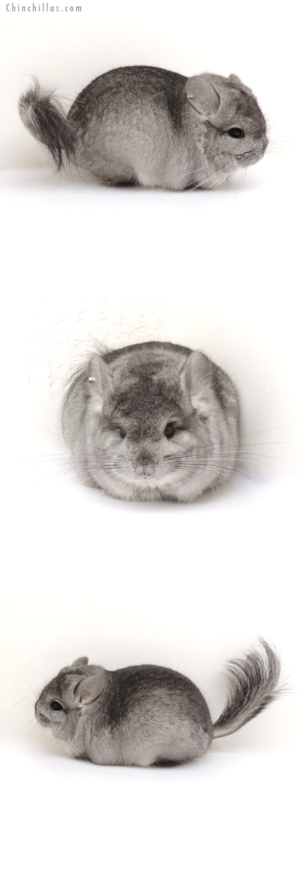 13205 Exceptional Standard Royal Persian Angora Male Chinchilla