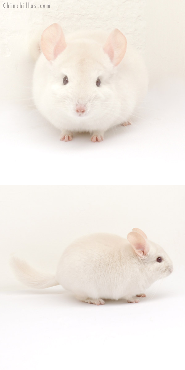 13190 Goldbar Male Chinchilla