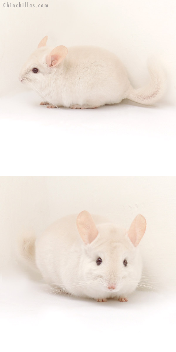 13191 Goldbar Male Chinchilla