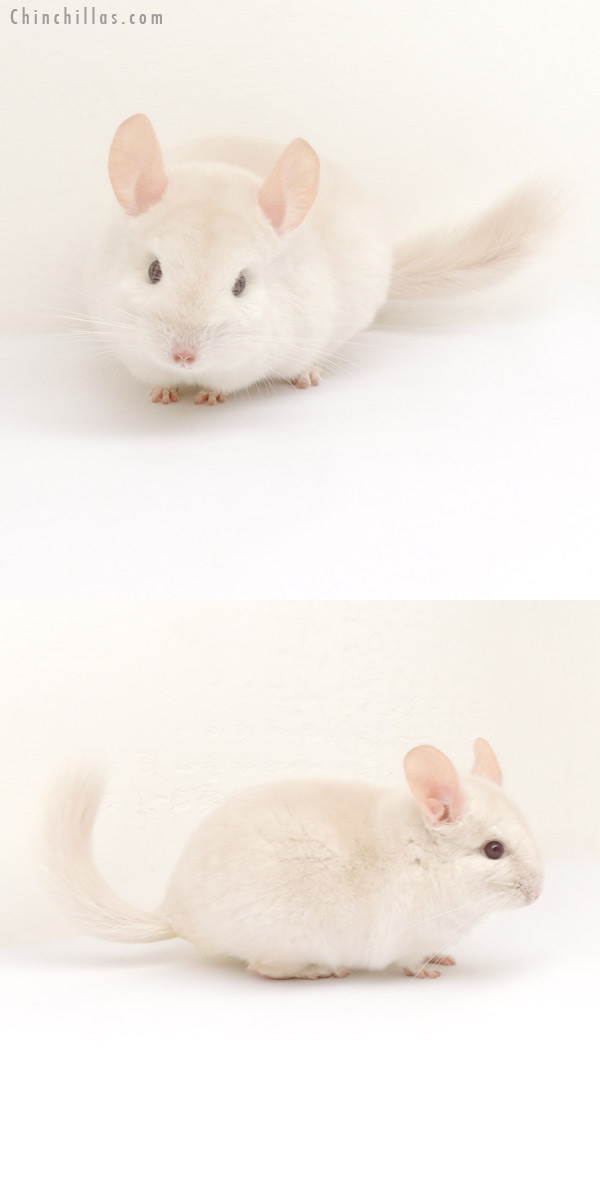 13193 Goldbar Female Chinchilla