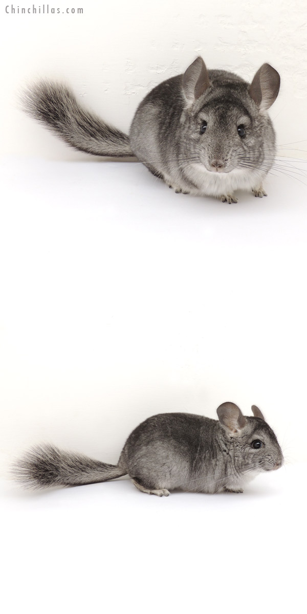 13192 Standard ( Goldbar Carrier ) Female Chinchilla