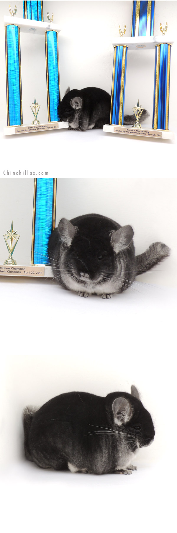 13207 Grand Show Champion Black Velvet Male Chinchilla