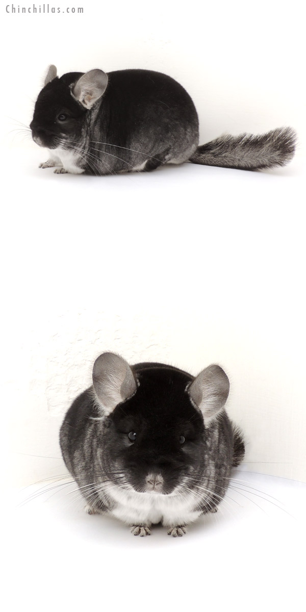 13211 1st Place Black Velvet Male Chinchilla