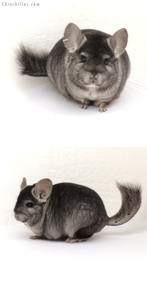 13214 Hetero Ebony ( Royal Persian Angora Carrier ) Male Chinchilla