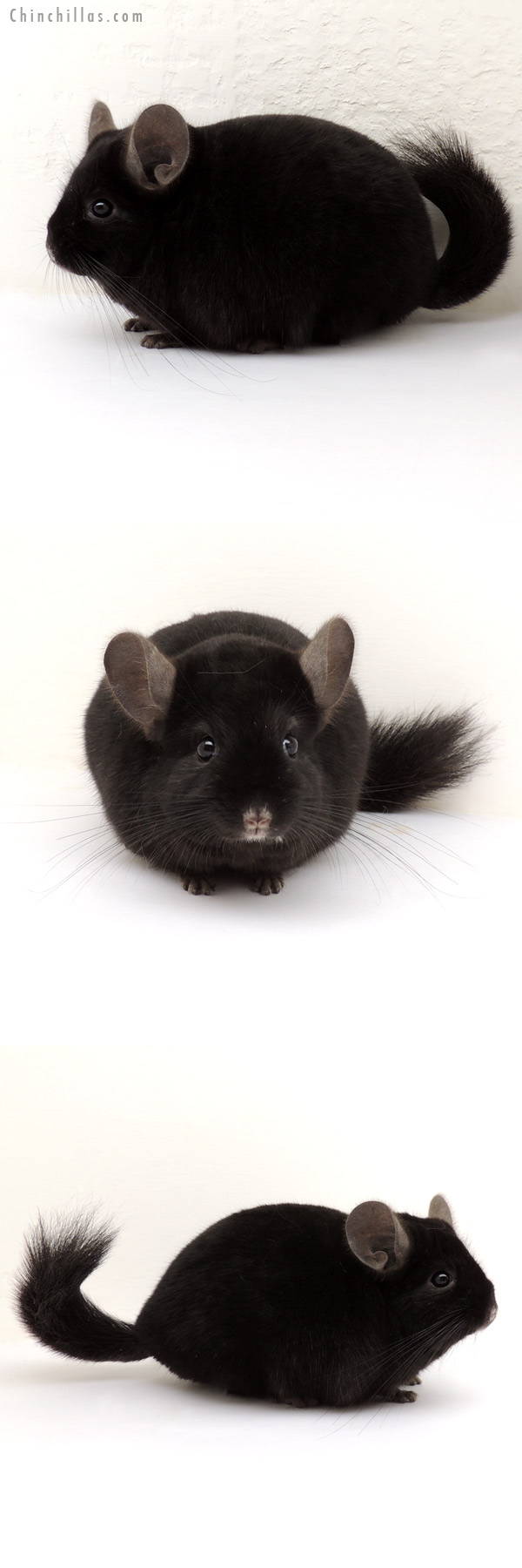 13224 Blocky, Show Quality Ebony ( Sapphire Carrier ) Male Chinchilla