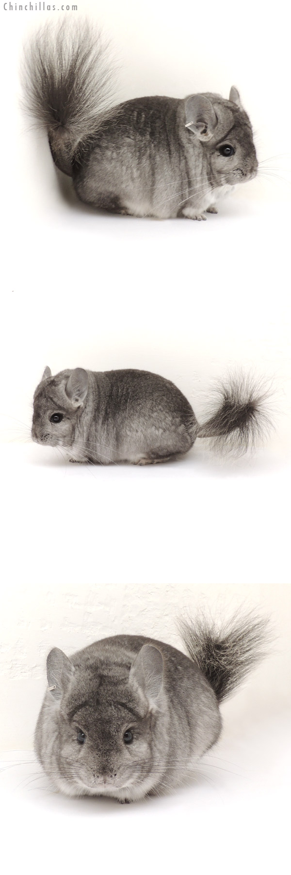 13220 Standard Royal Persian Angora Male Chinchilla