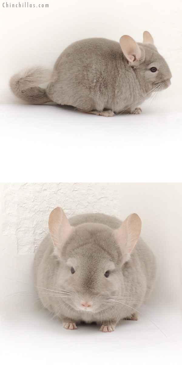 13225 Show Quality Tan / Violet Female Chinchilla