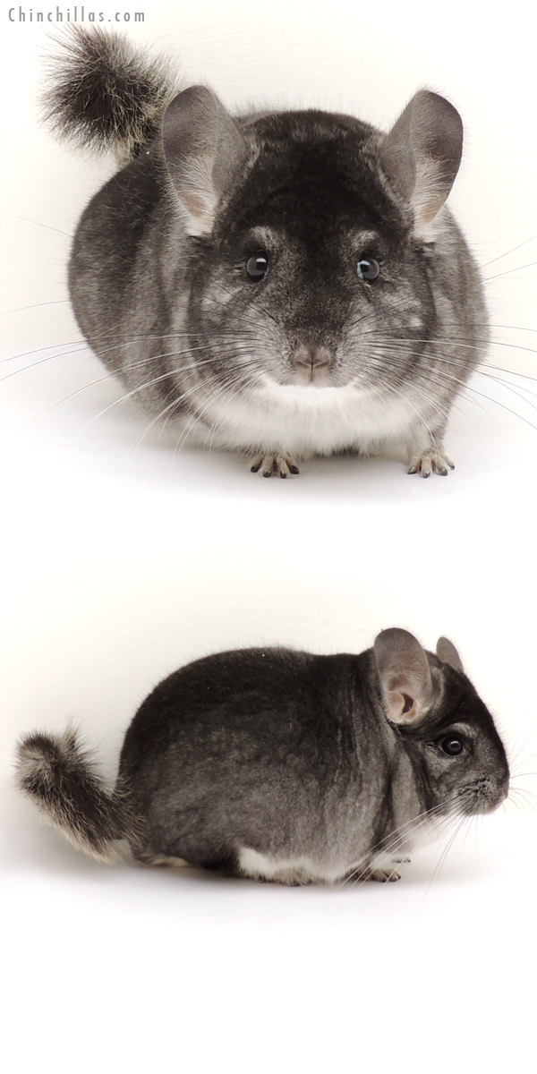 13236 Herd Improvement Quality Standard Male Chinchilla