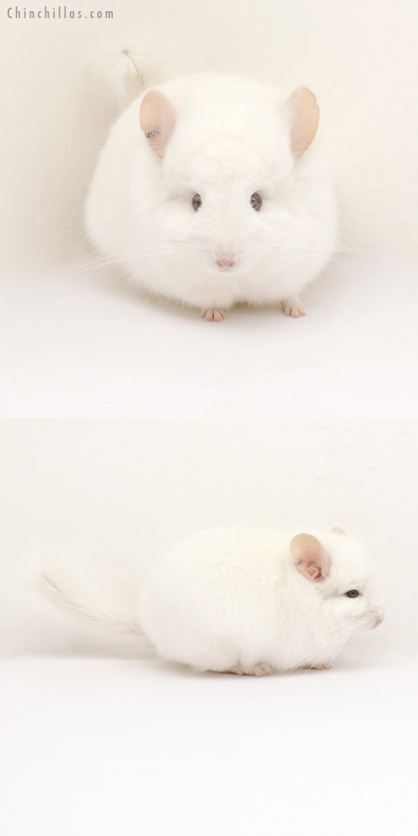 13240 Exceptional Pink White Royal Persian Angora Male Chinchilla
