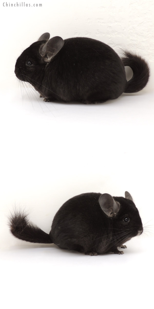 13246 Show Quality Ebony Female Chinchilla