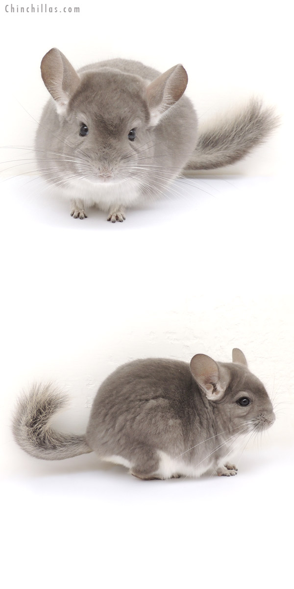 13249 Top Show Quality Violet Male Chinchilla