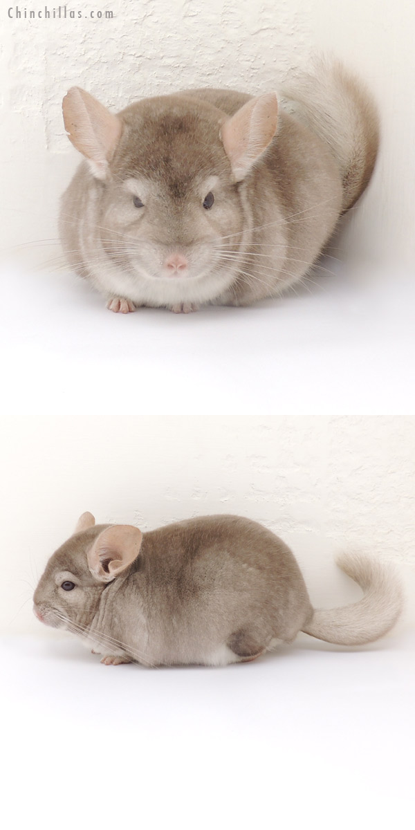 13255 Herd Improvement Quality Beige Male Chinchilla