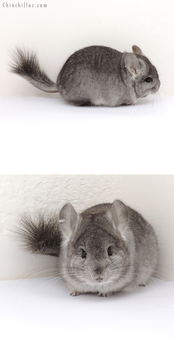 13250 Standard Royal Persian Angora Male Chinchilla