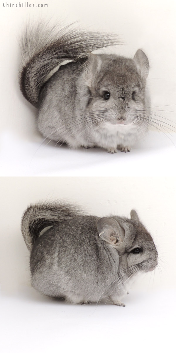 13264 Standard Royal Persian Angora Male Chinchilla