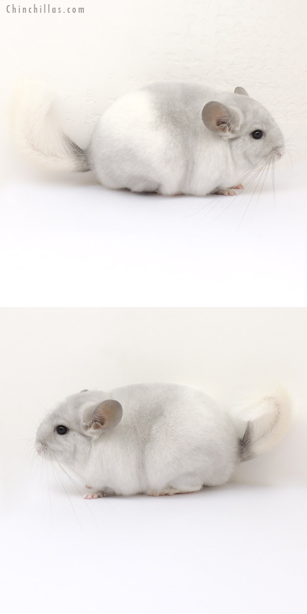 13258 1st Place Violet and White Mosaic Female Chinchilla